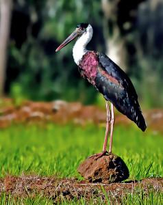 Woolly-necked_Stork_(Ciconia_episcopus)_Photograph_By_Shantanu_Kuveskar