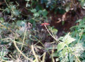 of-dragonflies
