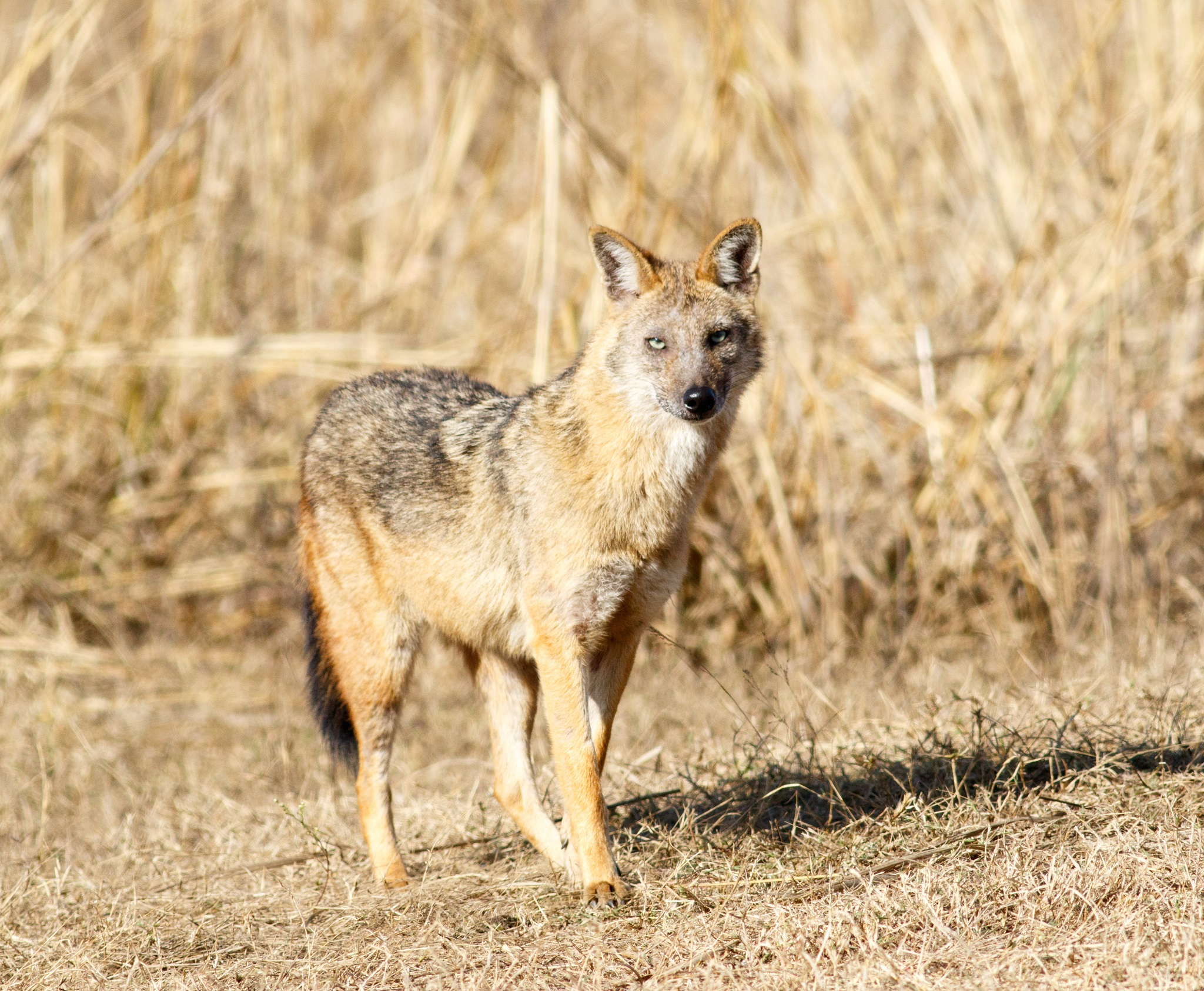 Jackal at Pench
