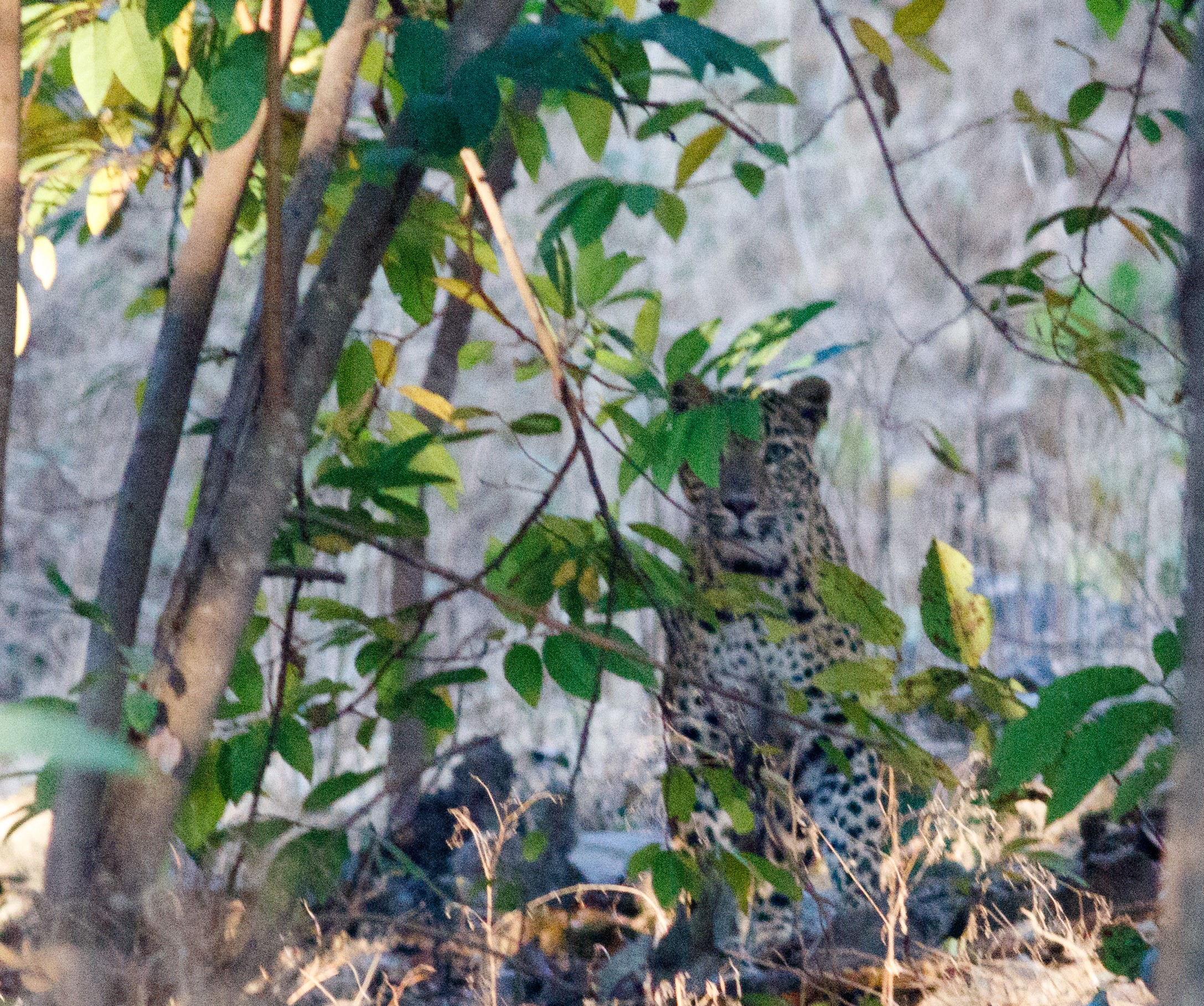 Leopard at Pench Tiger Reserve